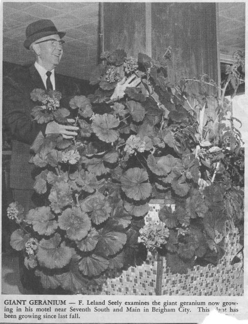 F Leland news article geraniums
